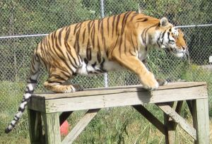 Tigger jumping off his perch to come say hi to me.