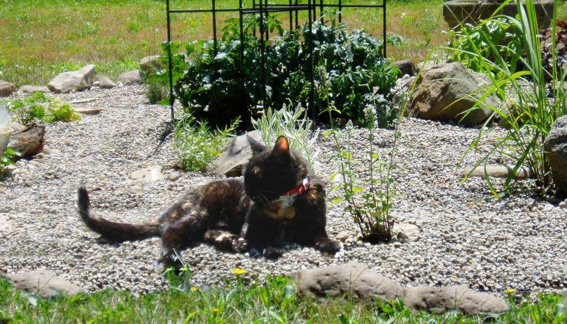 Giesha enjoying the summer in her catnip garden